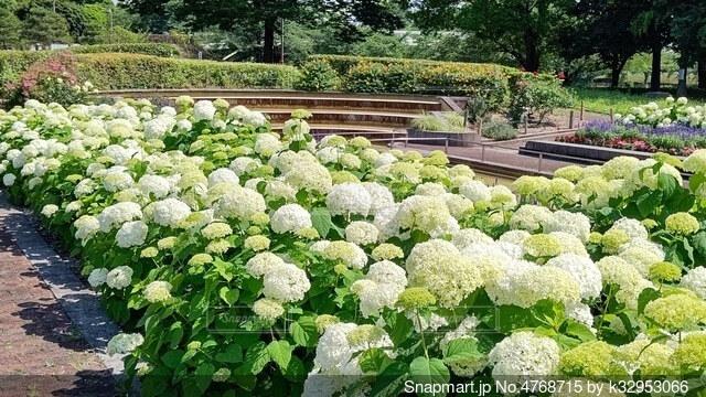 とても綺麗なアジサイの花畑の写真・画像素材[4768715]