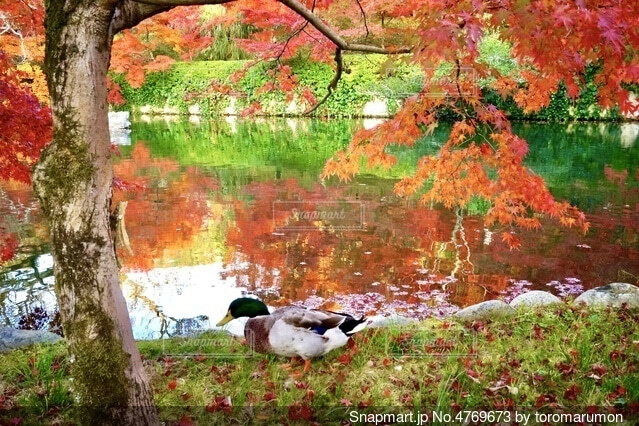 紅葉の永観堂で池の縁を歩く真鴨の写真・画像素材[4769673]