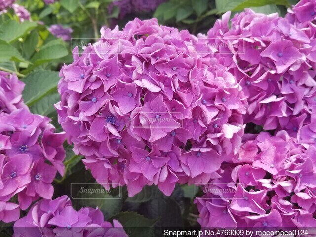 紫色の花のクローズアップの写真・画像素材[4769009]