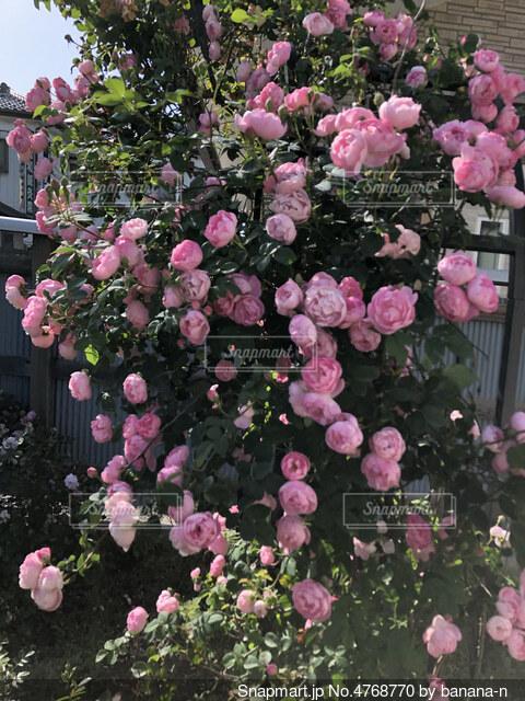 カップ咲きの薔薇の写真・画像素材[4768770]