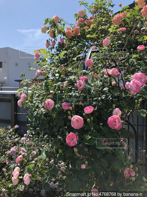 庭の薔薇の写真・画像素材[4768768]