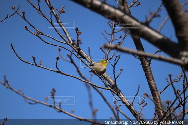 春告げる鳥の写真・画像素材[4769666]
