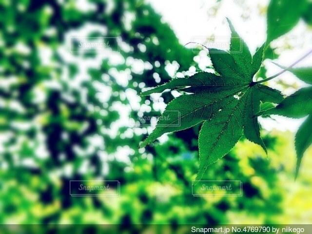 陽の光に照らされた葉っぱの写真・画像素材[4769790]