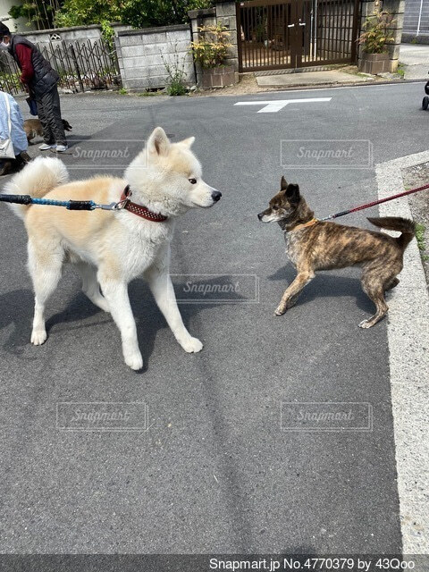 秋田犬と甲斐犬の写真・画像素材[4770379]