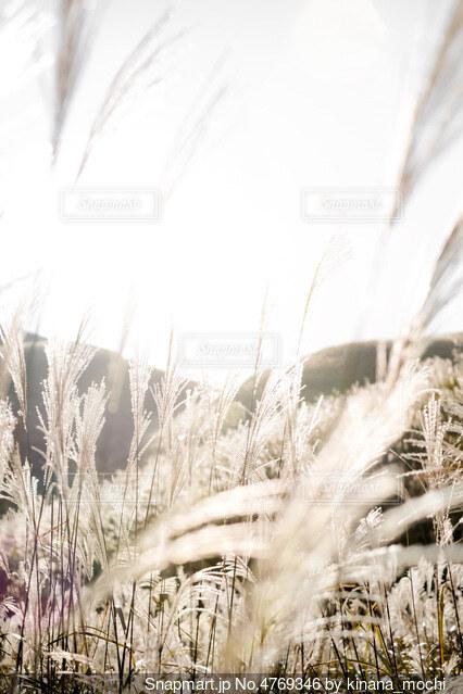 ススキの群生地の写真・画像素材[4769346]
