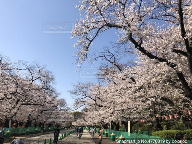 桜並木の写真・画像素材[4770819]