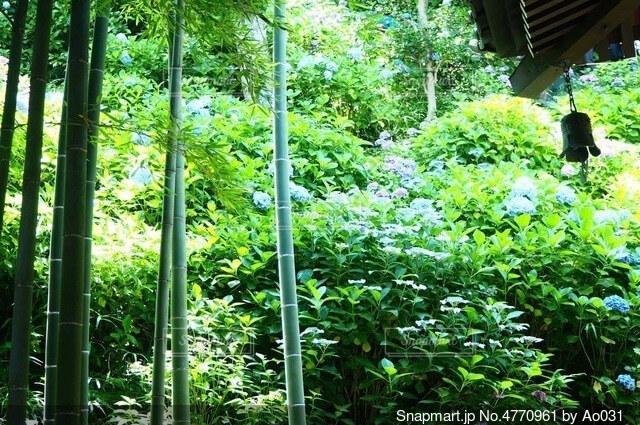 鎌倉の竹林と紫陽花の写真・画像素材[4770961]