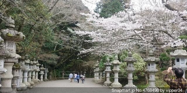 桜と参道の写真・画像素材[4768496]