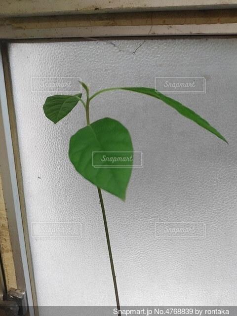 アボカドの葉の写真・画像素材[4768839]