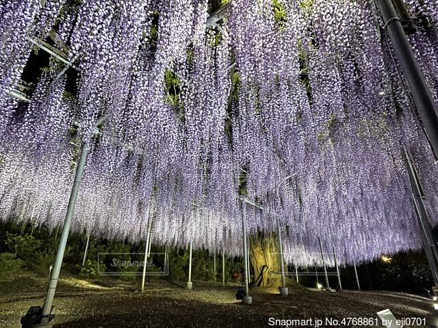 藤の花の写真・画像素材[4768861]