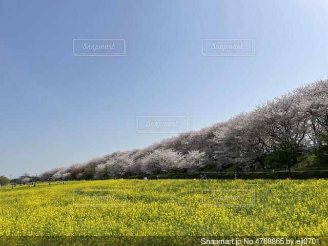 桜と菜の花畑の写真・画像素材[4768865]
