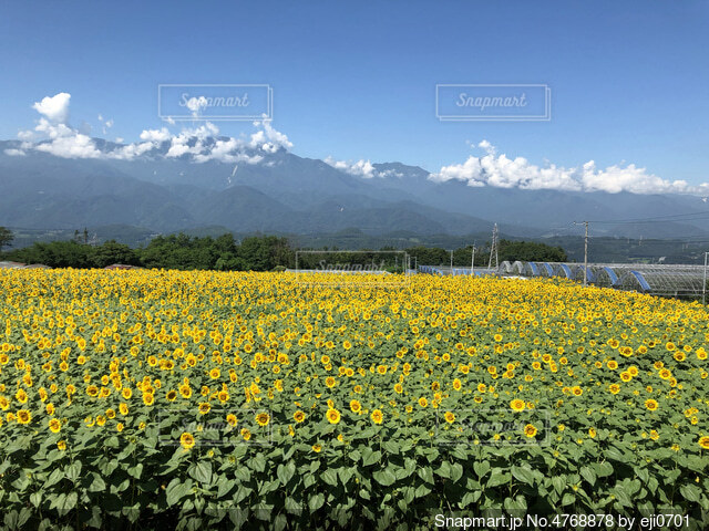 ひまわり畑の写真・画像素材[4768878]