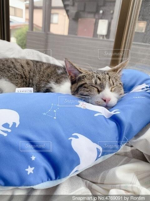 枕猫の写真・画像素材[4769091]