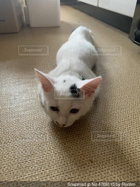 伸びてる猫の写真・画像素材[4769115]