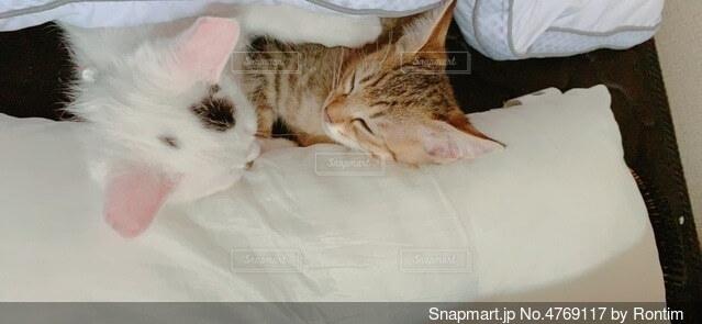 布団猫の写真・画像素材[4769117]