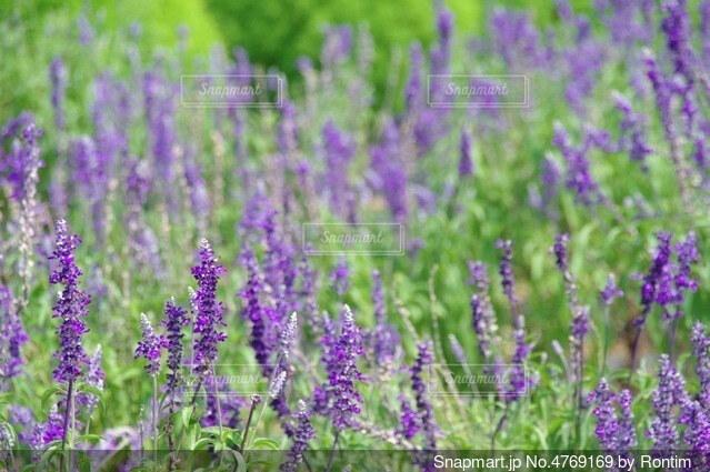 ラベンダー畑の写真・画像素材[4769169]