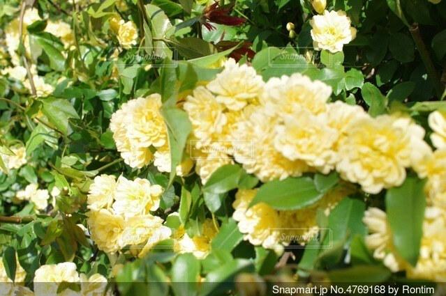黄色い花の写真・画像素材[4769168]