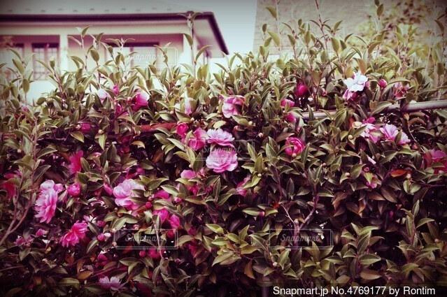 ピンクの花の写真・画像素材[4769177]