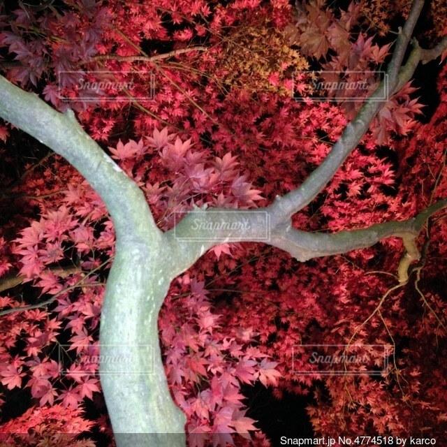 秋 紅葉の写真・画像素材[4774518]