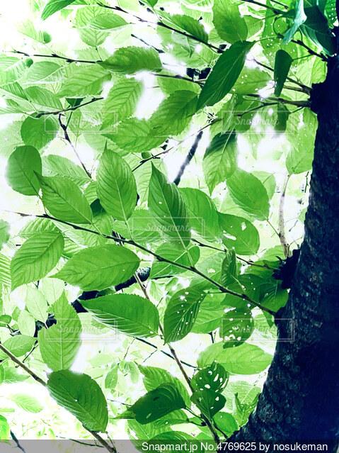 緑の葉が植わった木の写真・画像素材[4769625]