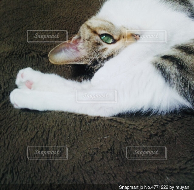 寝転んでる緑色の目の猫の写真・画像素材[4771222]