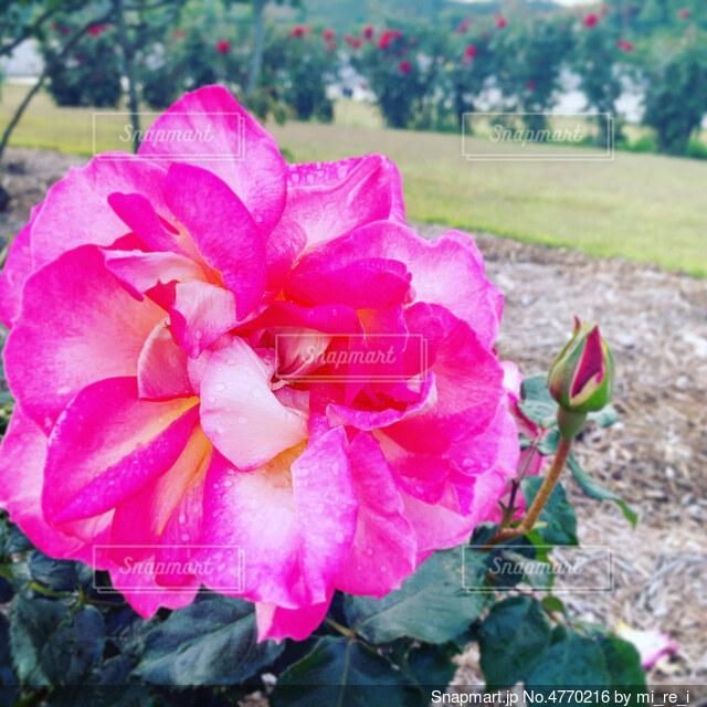 ピンクの薔薇の写真・画像素材[4770216]