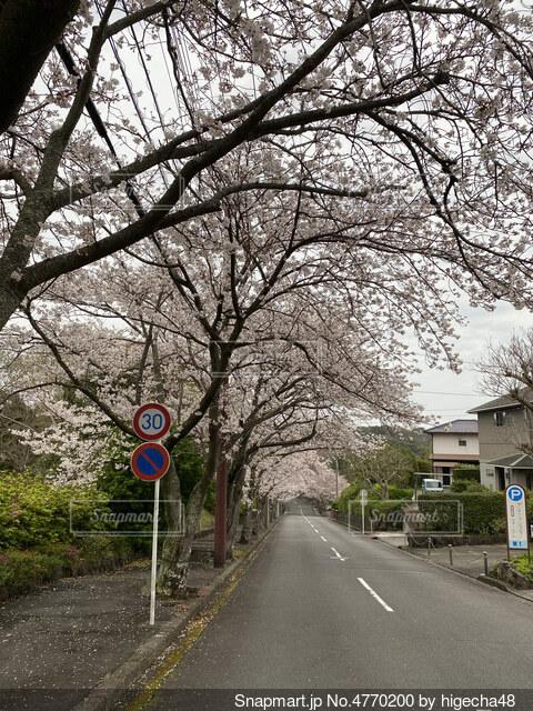 城ヶ崎の桜並木の写真・画像素材[4770200]