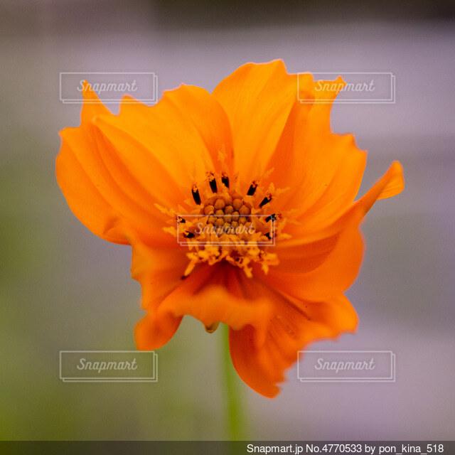 オレンジ色のコスモスの写真・画像素材[4770533]