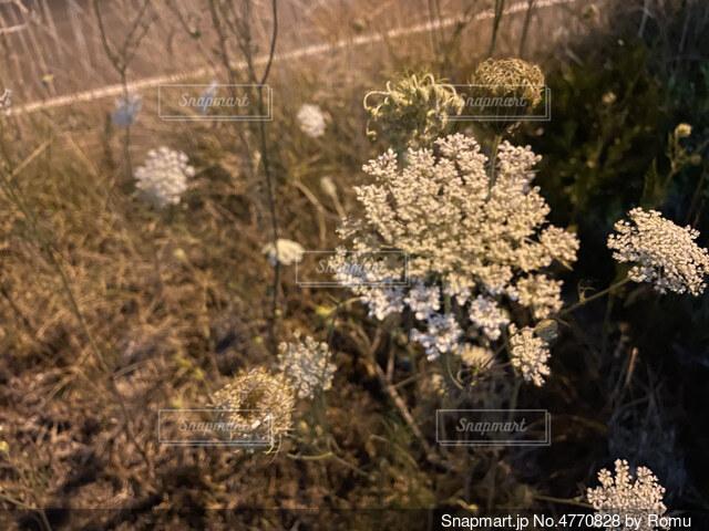 風に揺られる夜道の花の写真・画像素材[4770828]