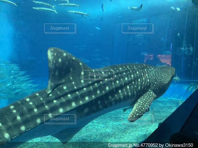 優雅に泳ぐどデカい生物の写真・画像素材[4770952]