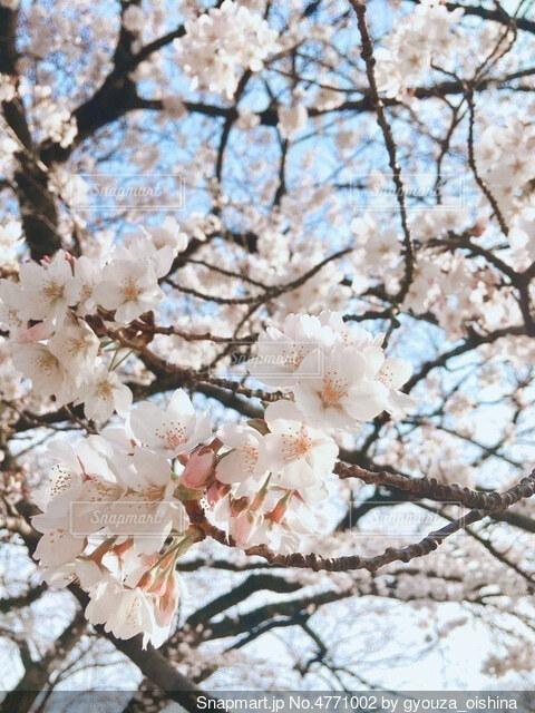桜の写真・画像素材[4771002]