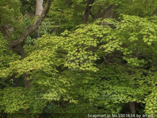 新緑のもみじの写真・画像素材[1003634]