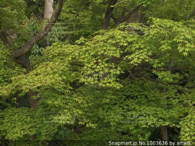 新緑のもみじの写真・画像素材[1003636]