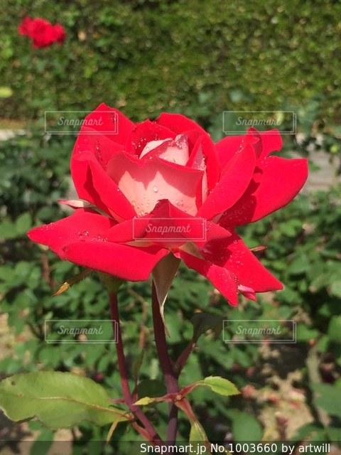 赤いバラの写真・画像素材[1003660]