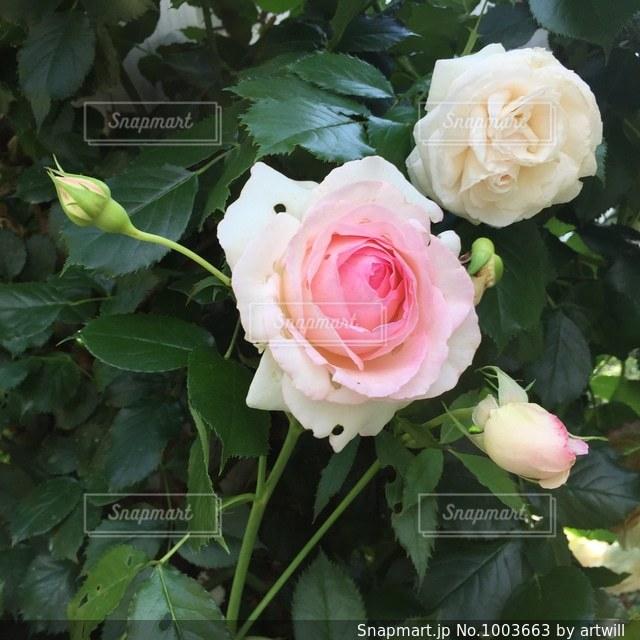 薔薇の写真・画像素材[1003663]