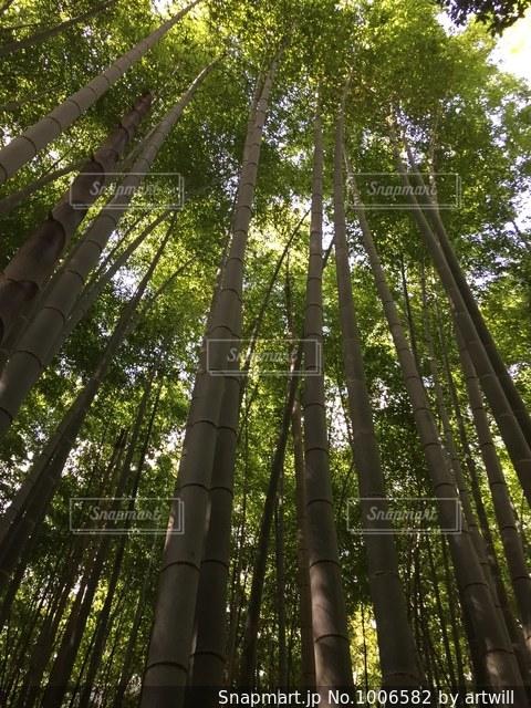 嵐山の竹林の写真・画像素材[1006582]