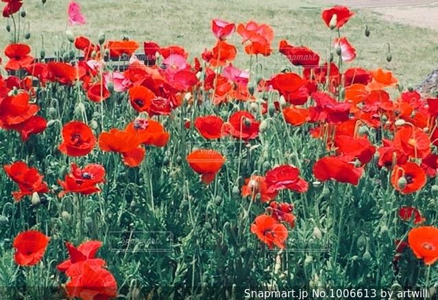 赤い花の写真・画像素材[1006613]