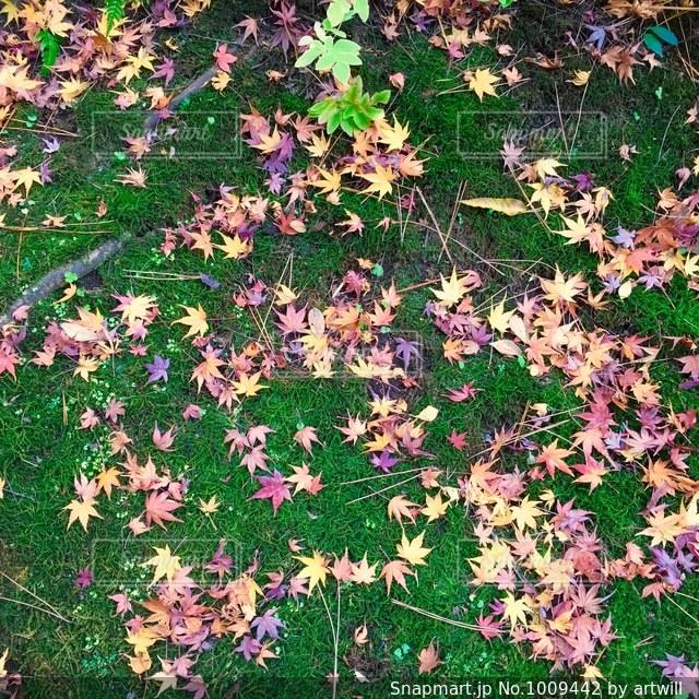 苔の上のもみじと松葉の写真・画像素材[1009442]
