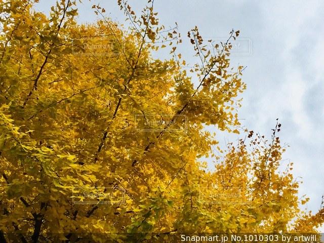 公園の銀杏の写真・画像素材[1010303]