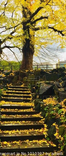 公園の銀杏の写真・画像素材[1010307]