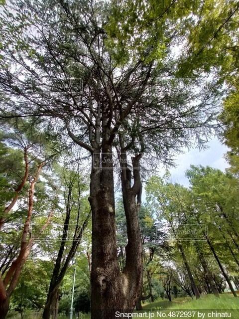 森の中の大きな木の写真・画像素材[4872937]