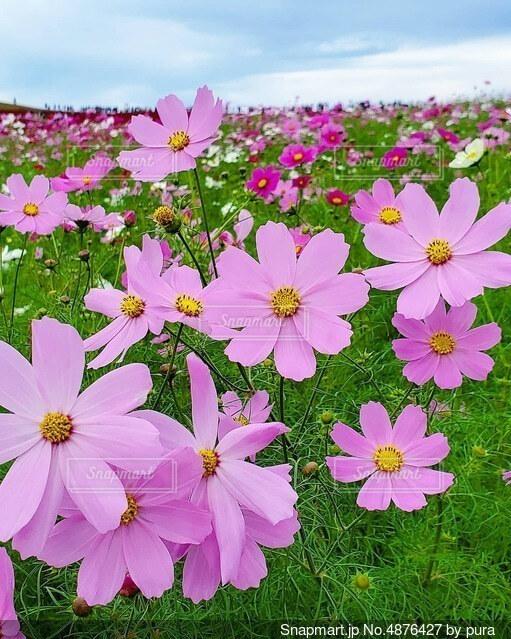 ピンクのコスモスの写真・画像素材[4876427]