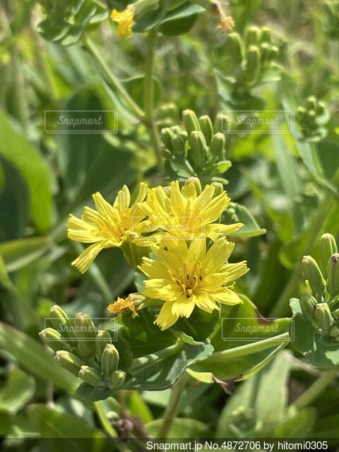 小さいく力強く咲くオニタビラコの写真・画像素材[4872706]