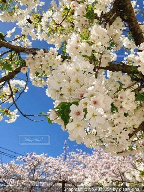 青空と桜_2021の写真・画像素材[4873034]