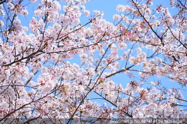 蹴上インクライン桜の写真・画像素材[4874144]