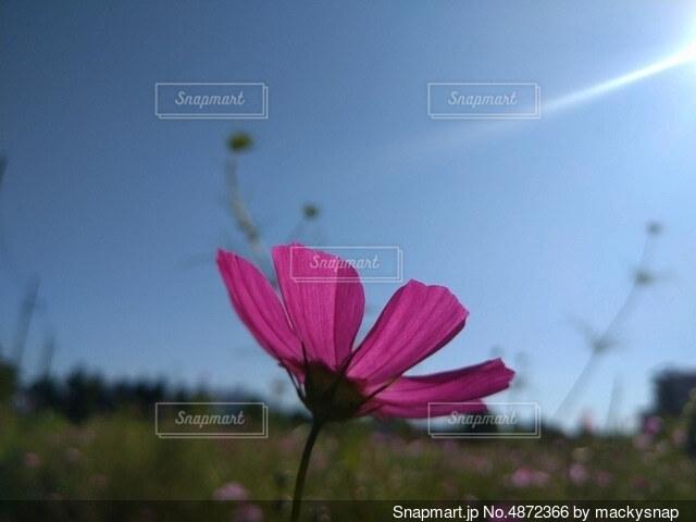 下からコスモス2の写真・画像素材[4872366]