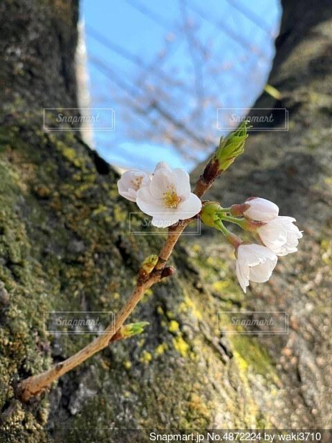 桜の蕾の写真・画像素材[4872224]