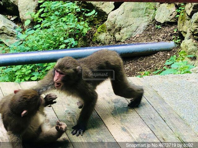 猿の喧嘩の写真・画像素材[4873719]
