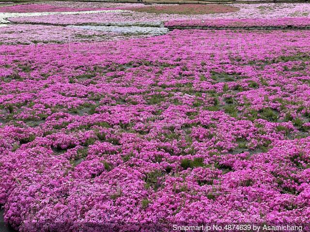 芝桜の写真・画像素材[4874639]
