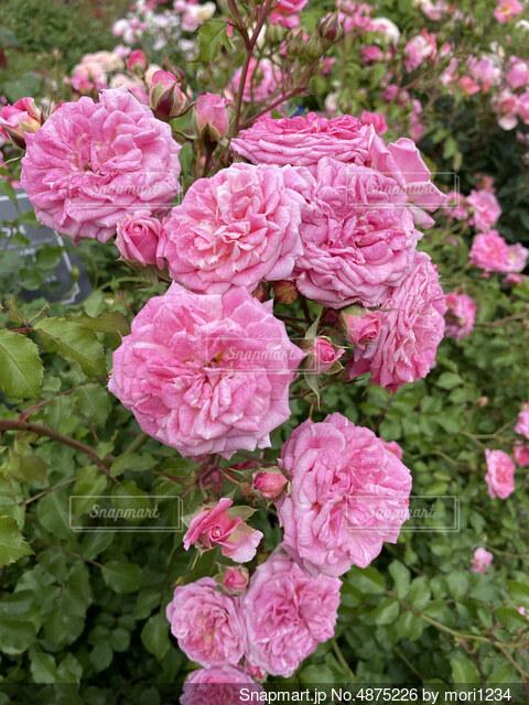 ピンクのバラ。の写真・画像素材[4875226]